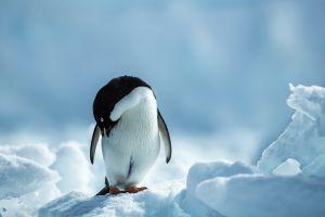 ice animals snow penguins birds