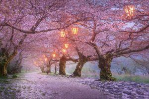 lanterns trees cherry blossom flowers spring japan