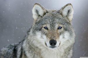looking at viewer animal eyes wolf