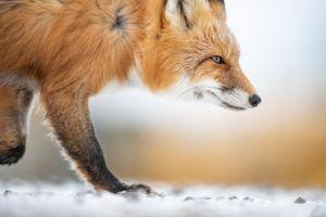 mammals animals snow fox