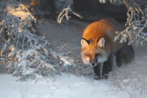 mammals fox animals winter snow