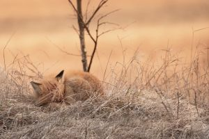 mammals nature fox animals