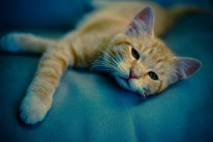 paws cats animals whiskers muzzles kittens rest sleepy