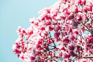 plants flowers pink flowers