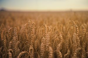 plants outdoors wheat field