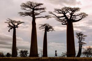 plants trees baobabs africa baobab trees