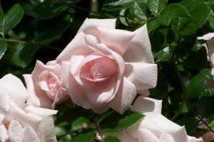 roses flowers garden