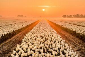 sun agro (plants) flowers field sky plants tulips