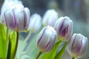 tulips plants white flowers flowers