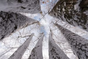 worm's eye view snow trees winter nature