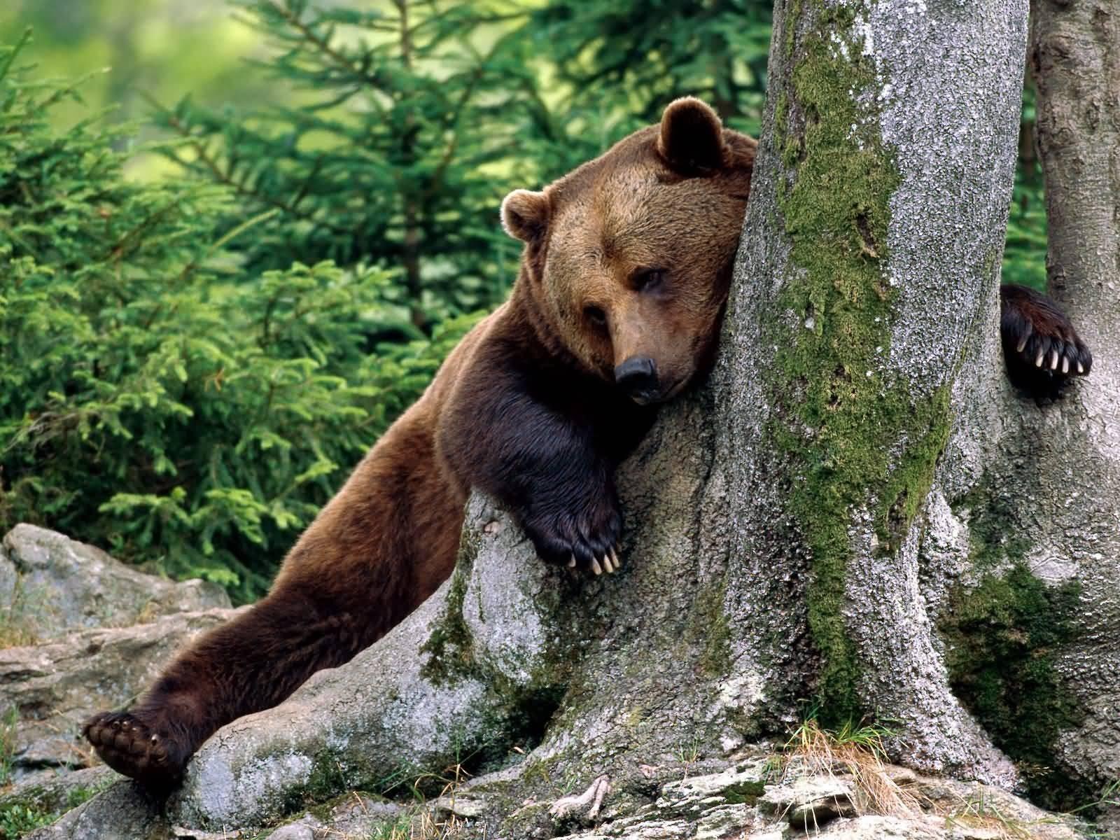 animals bears russia nature