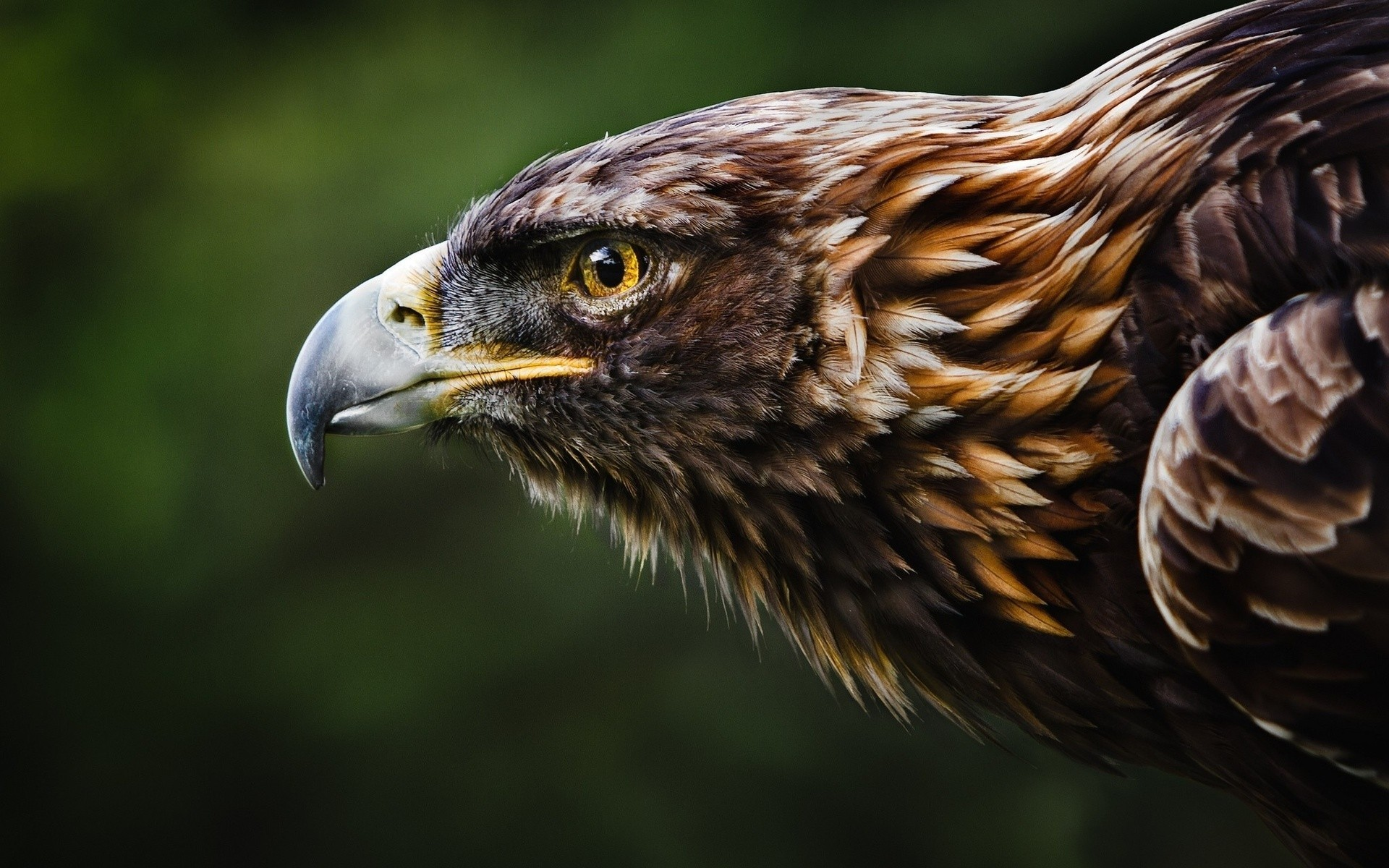 eagle animals birds nature