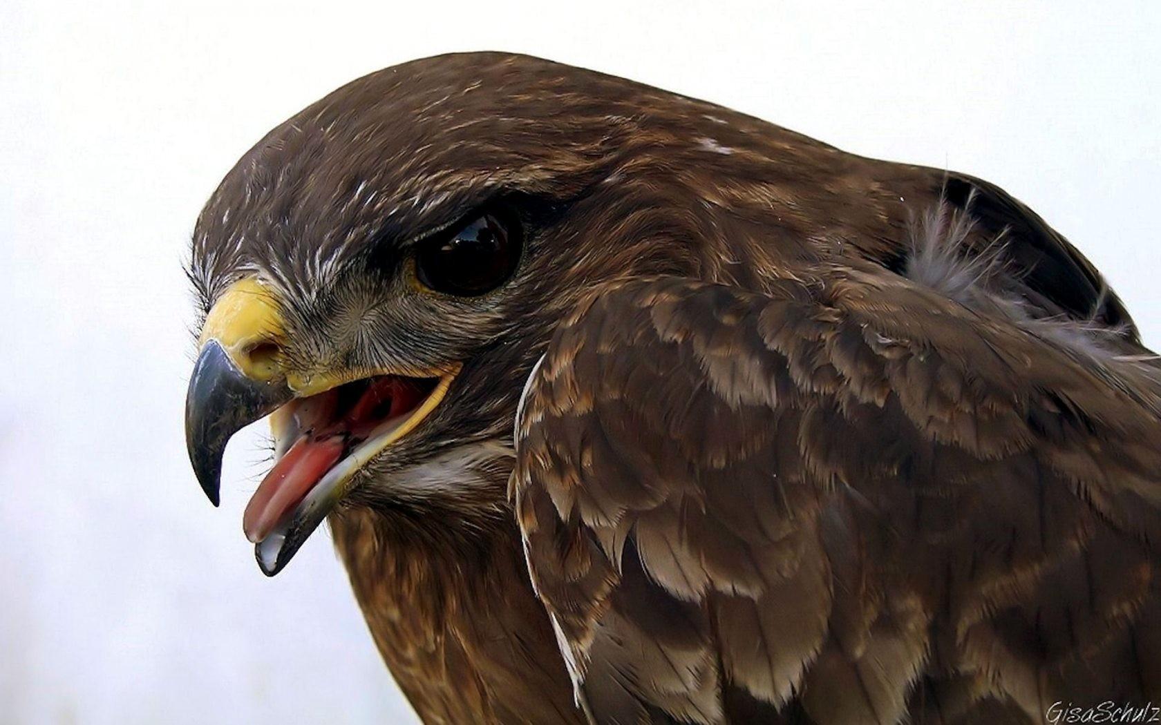 eagle animals nature birds