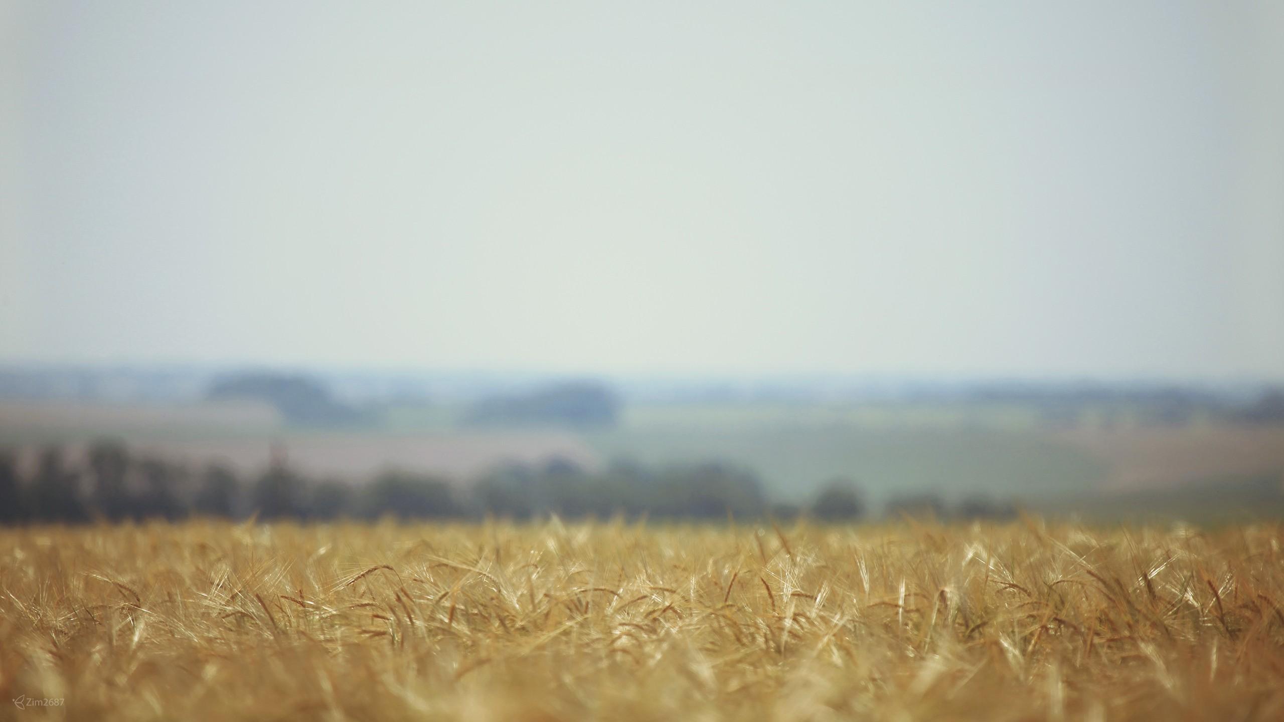 field landscape summer wheat