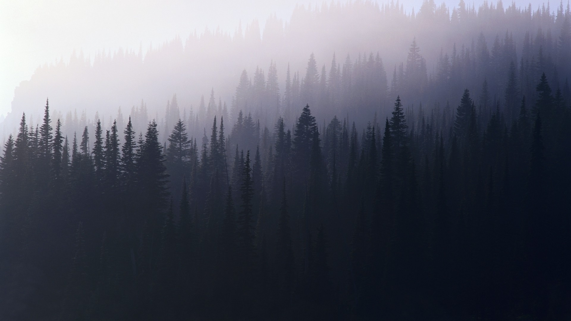 forest violet trees mist pine trees nature