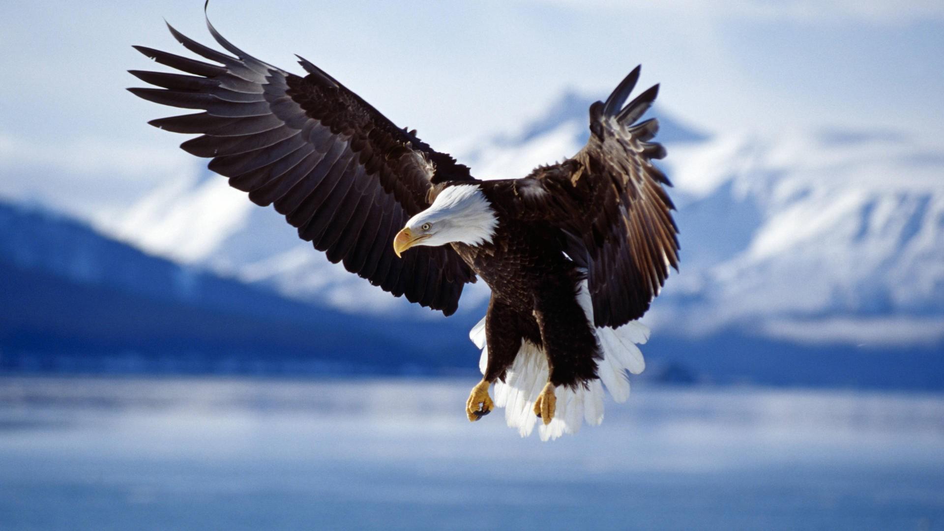 nature animals eagle wildlife birds bald eagle flying freedom glider
