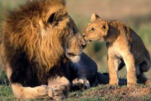africa baby animals animals lion