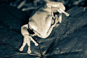 amphibian animals monochrome frog