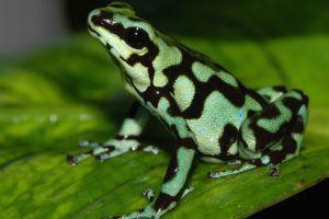 amphibian frog poison dart frogs