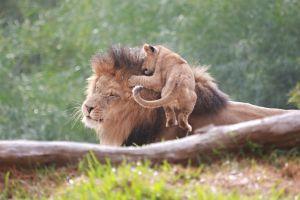 animals baby animals lion