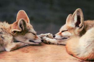 animals baby animals sleeping fox