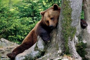 animals bears russia nature