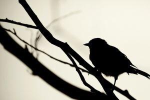 animals birds monochrome silhouette branch minimalism
