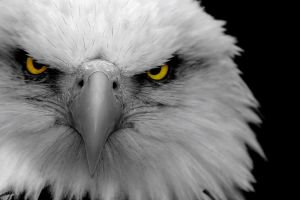 animals birds selective coloring eagle