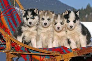 animals blue eyes dog