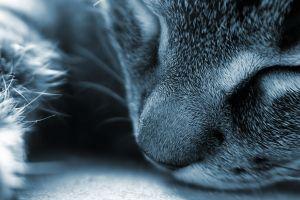 animals blue feline sleeping closed eyes cats