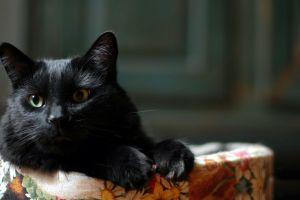 animals cats black cats