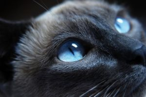animals cats blue eyes siamese cats