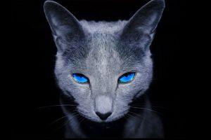 animals cats dark blue eyes feline persian cat