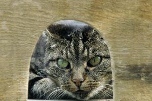animals cats eyes