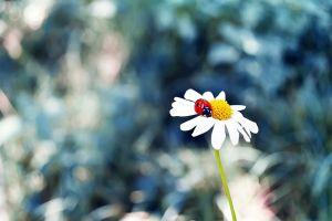 animals chamomile ladybugs flowers