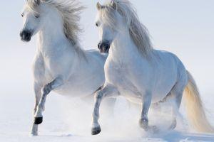 animals couple horse