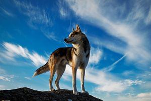 animals dog wolf national geographic iceland