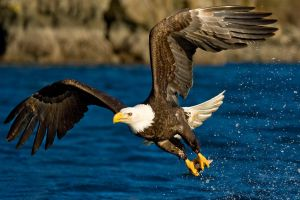 animals eagle birds freedom glider water