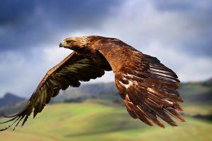 animals eagle birds