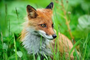 animals fox grass
