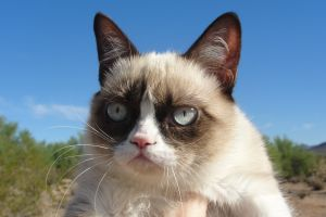 animals grumpy cat cats
