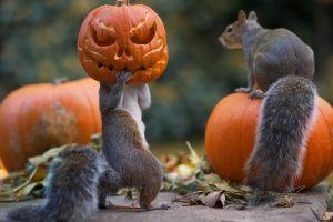 animals humor squirrel jack o' lantern