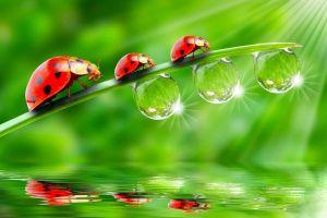 animals insect macro reflection ladybugs water drops