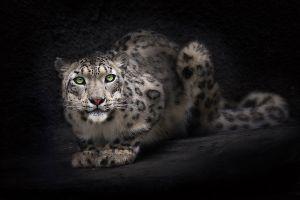 animals leopard big cats