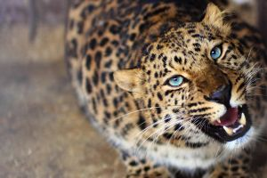 animals leopard blue eyes roar blurred big cats