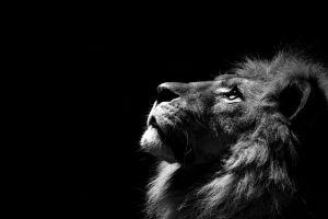 animals lion monochrome