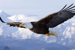 animals nature birds wildlife eagle bald eagle flying landscape