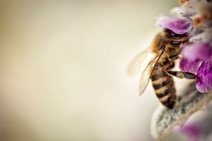 animals nature macro bees flowers insect