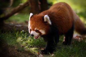 animals nature red panda