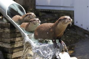 animals otters water metal liquid